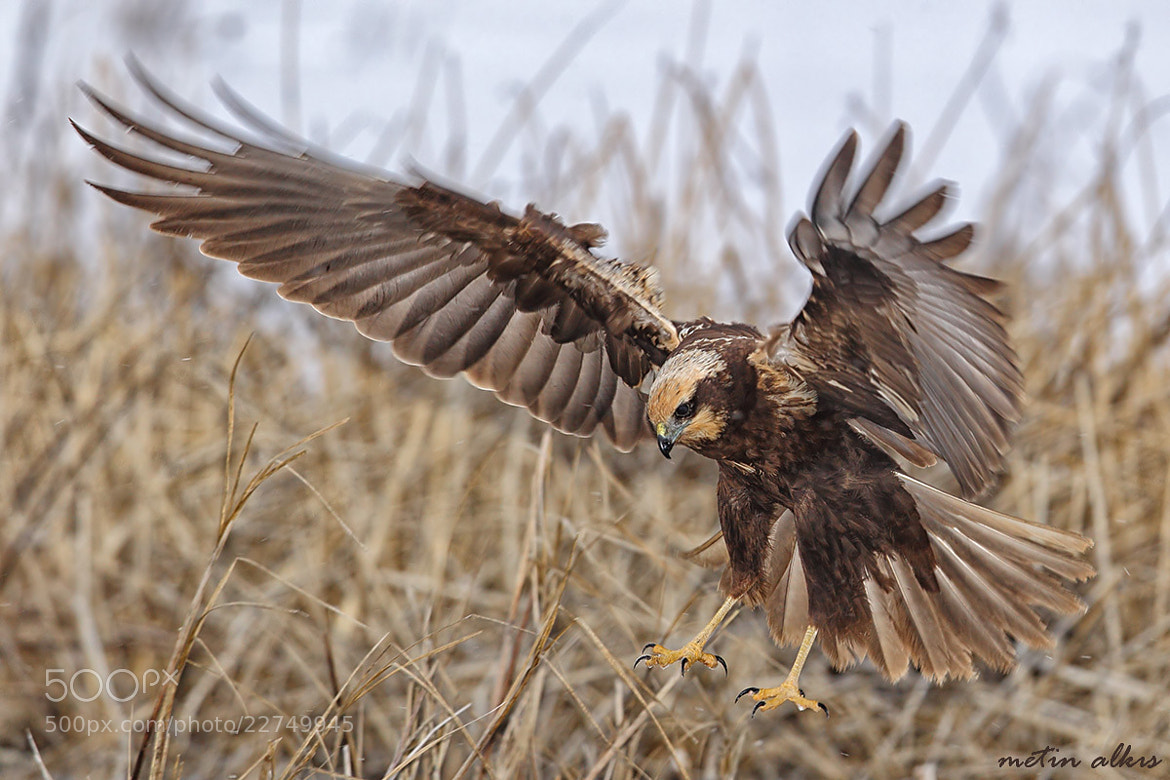Photograph  Saz delicesi » Circus aeruginosus » Western marsh-harrier by Metin Alkış on 500px
