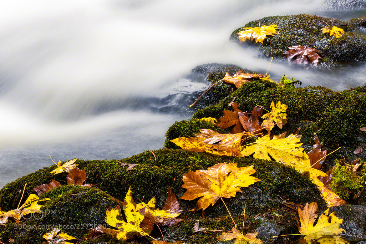 Photograph Golden Leaves by Nicole S. Young on 500px