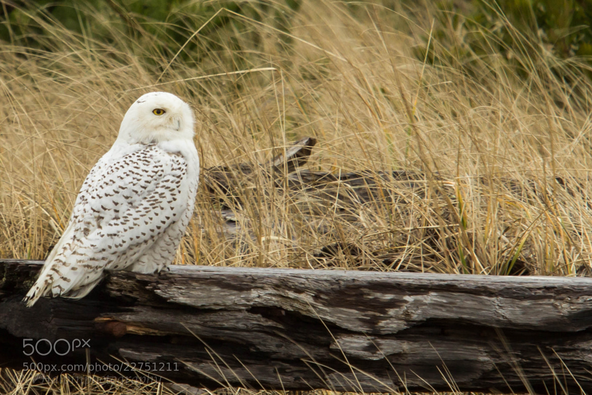 Photograph Snowy Owl by Vinnie Halpin on 500px