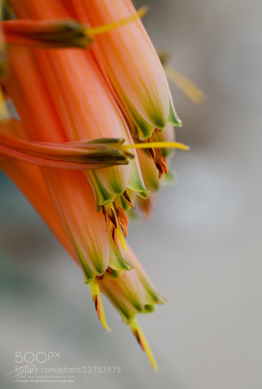 Photograph Cactus flower by Florian Warnecke on 500px