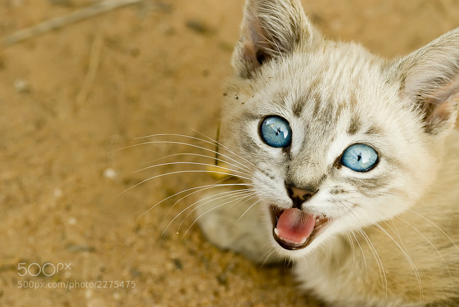 Photograph White little cat, blue eyes by Víctor Campano on 500px