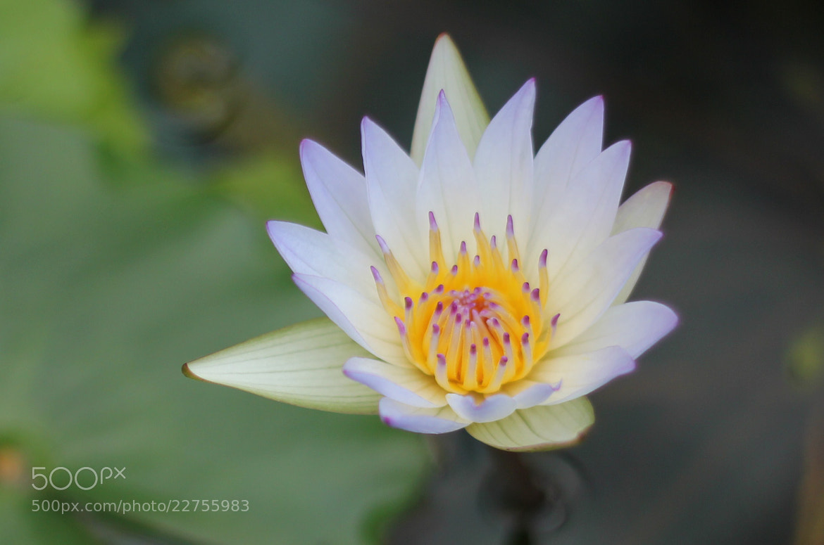 Photograph Lotus flower by S.m. Yang on 500px