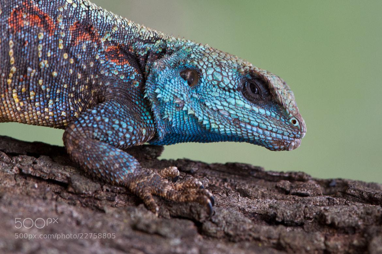 Photograph Blue Headed Tree Agama by Ryan Viljoen on 500px