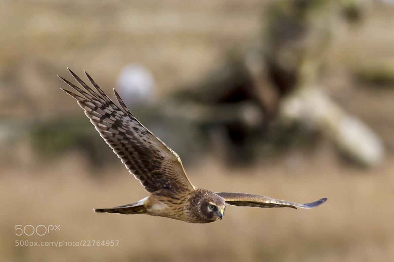 Photograph Northern Harrier by Martin Grančič on 500px