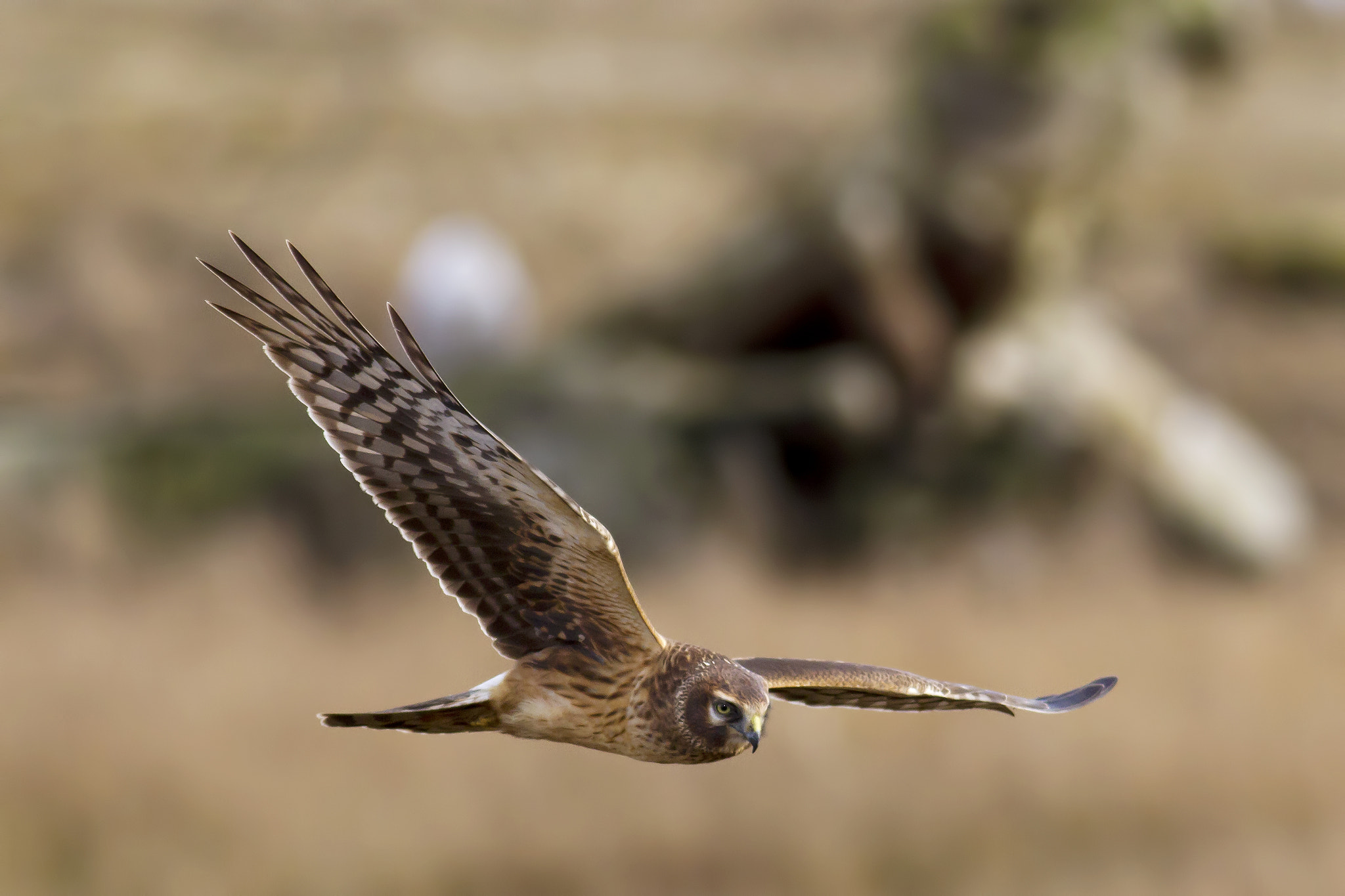 Photograph Northern Harrier by Martin Grančič on 500px