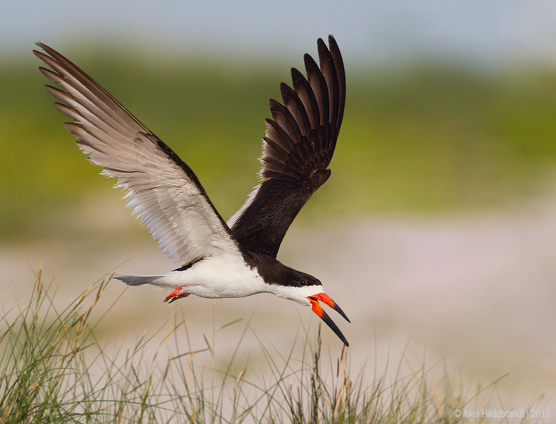 Photograph Black Skimmer by Axel Hildebrandt on 500px