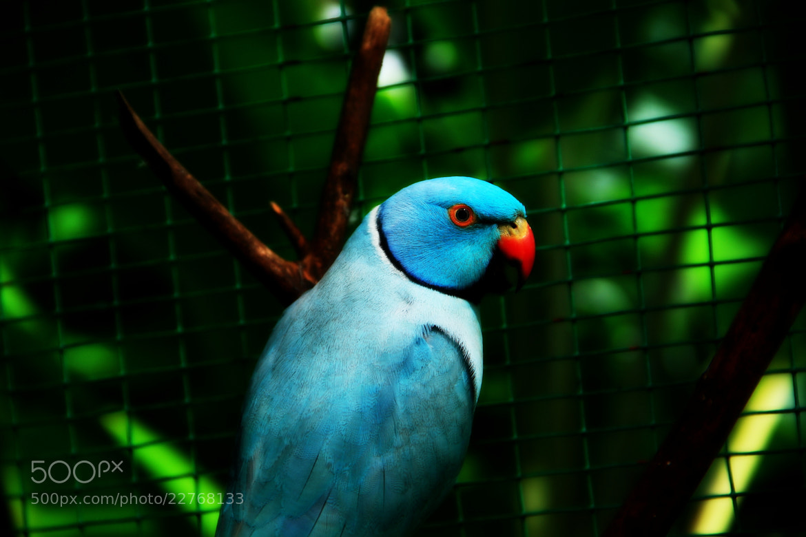 Photograph Blue parrot by Pranab Ghosh on 500px