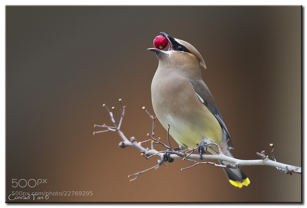 Photograph The last berry...  by Conrad Tan on 500px