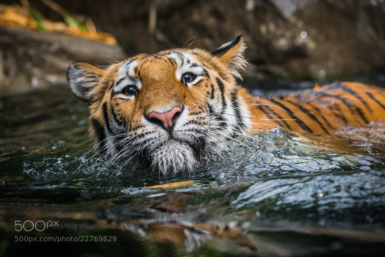 Photograph Tiger by Mike Kolesnikov on 500px