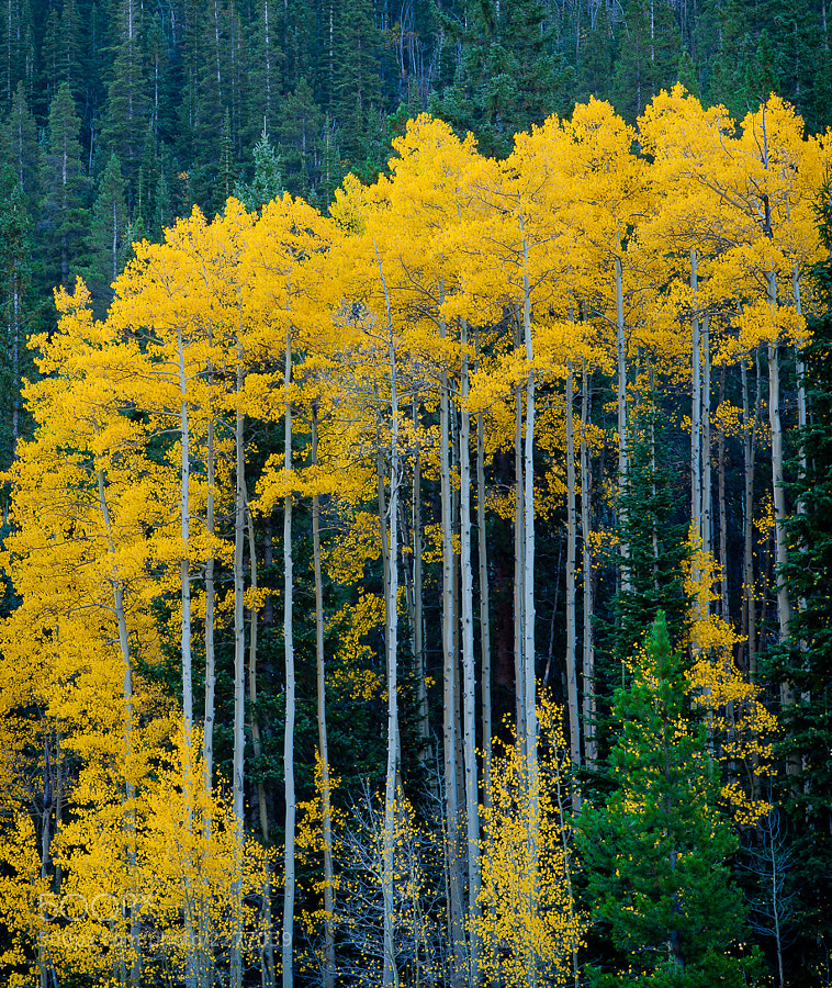 Photograph Tall Aspen by Kevin Parks on 500px