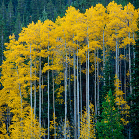 Tall Aspen by Kevin Parks (Altitudeman)) on 500px.com