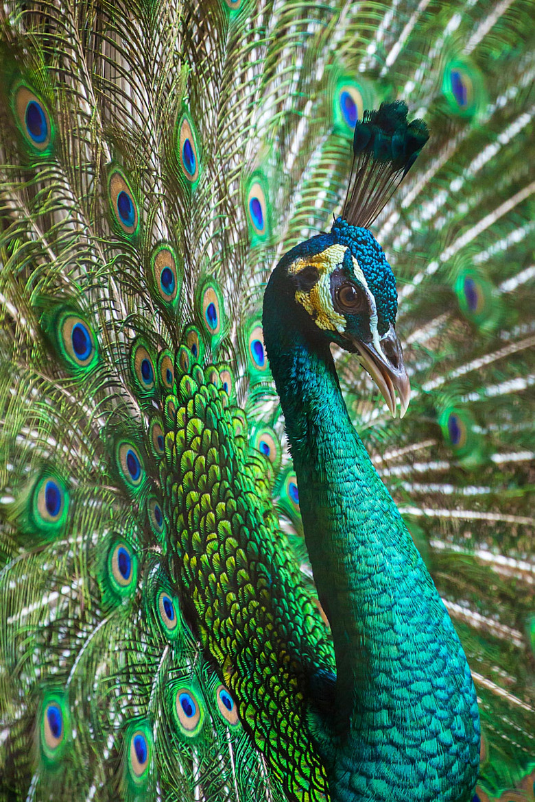 Photograph The Peacock by Stephen Liono on 500px