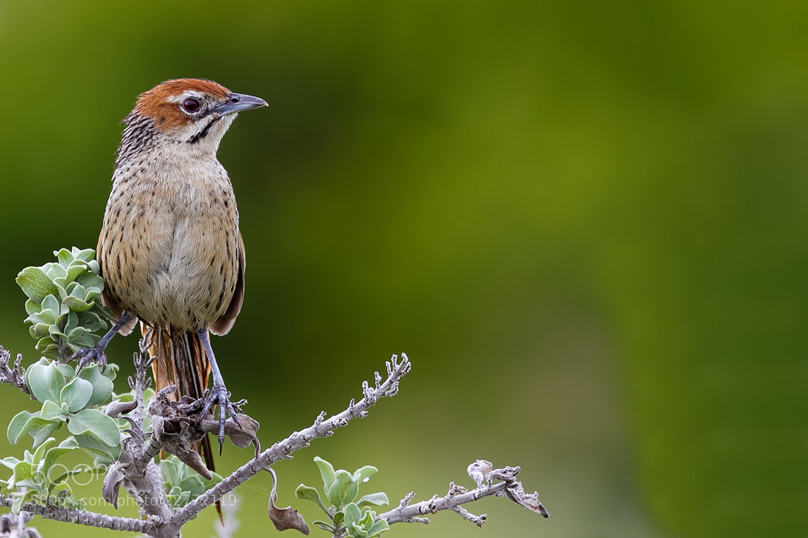Photograph Cape Grassbird by Desiré Darling on 500px
