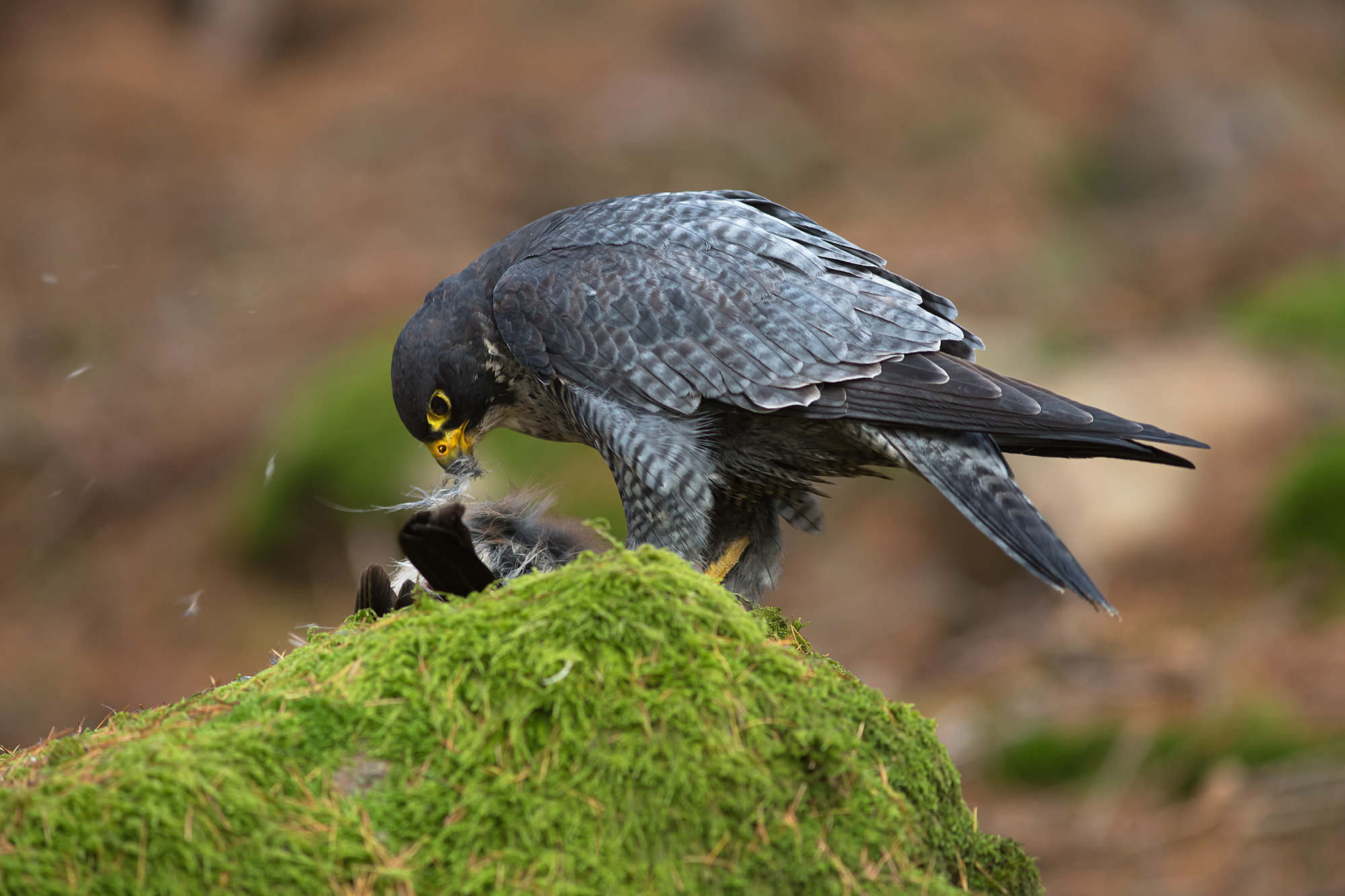 Photograph Peregrine Falcon by Milan Zygmunt on 500px
