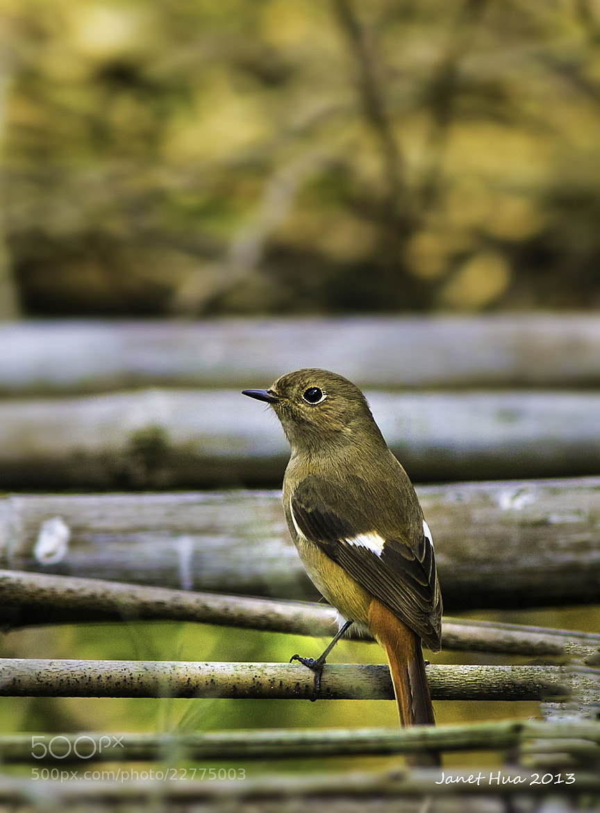 Photograph Daurian Redstart by Janet Hua on 500px