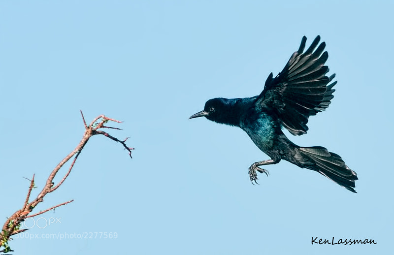 Photograph Boat-tail Grackle by Ken  Lassman on 500px