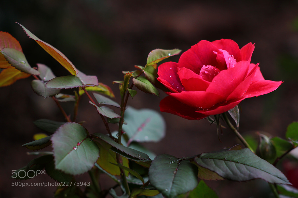 Photograph rose by centre centre on 500px