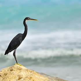 Fishing Reef Heron by Csilla Zelko (csillogo11)) on 500px.com