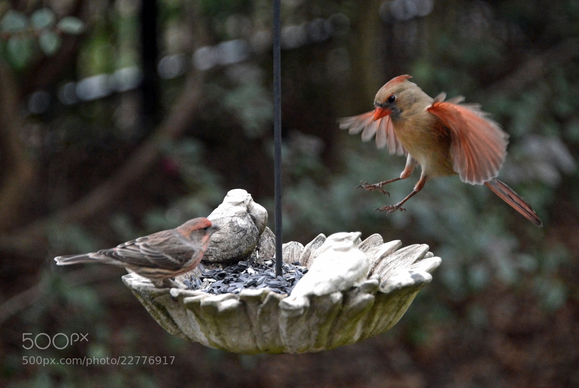 Photograph The Cardinal and the Finch by Mark Luftig on 500px