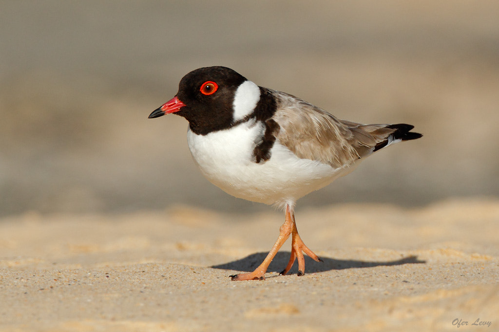 Photograph Hooded Plover by Ofer Levy on 500px