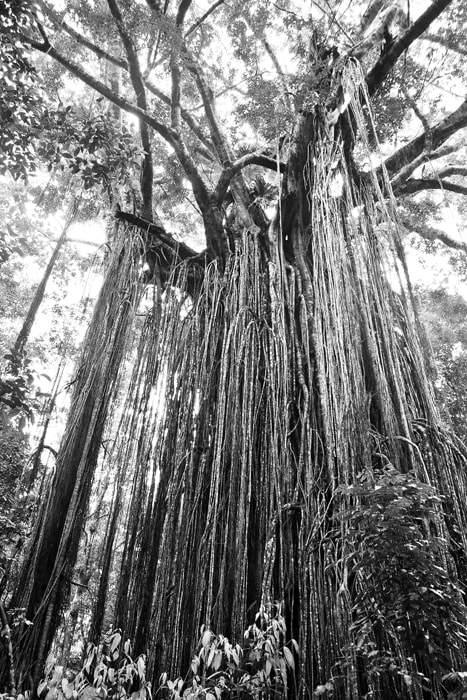Photograph Curtain Fig  by Julia S on 500px