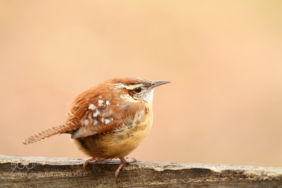 Photograph Little Wren by Lorraine Hudgins on 500px