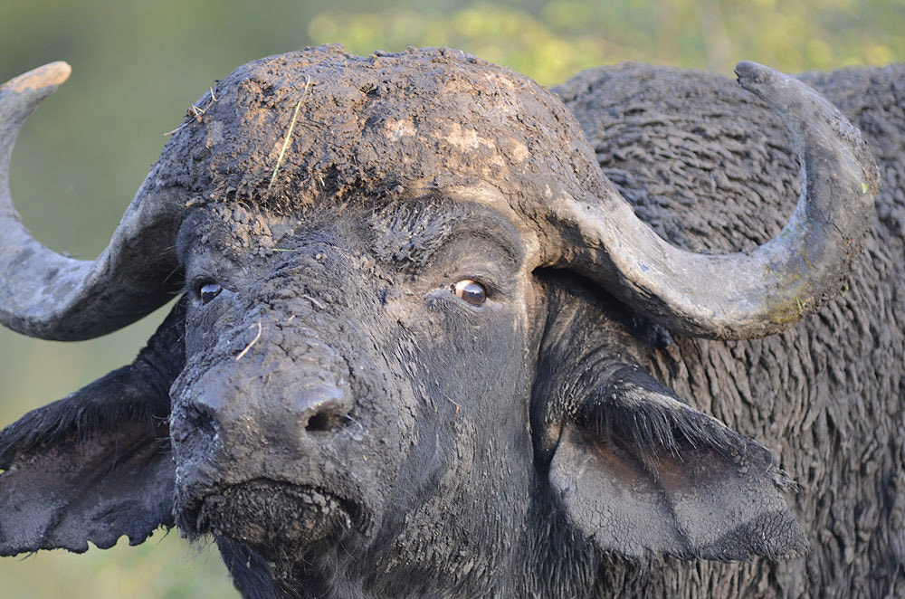 Photograph African Buffalo, Manyeleti Game Reserve 08 by Chris du Plessis on 500px