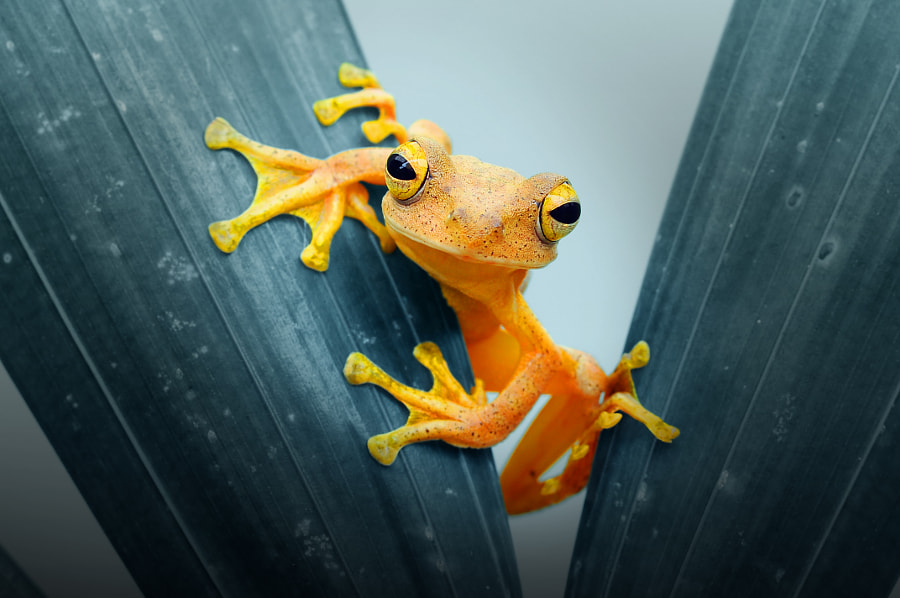 Frog, Frog, Forg on Leaves, by Andri Priyadi on 500px.com