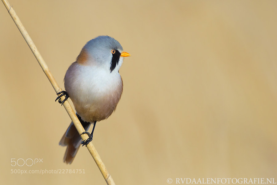 Photograph Bearded Tit, Panurus biarmicus by Remco van Daalen on 500px