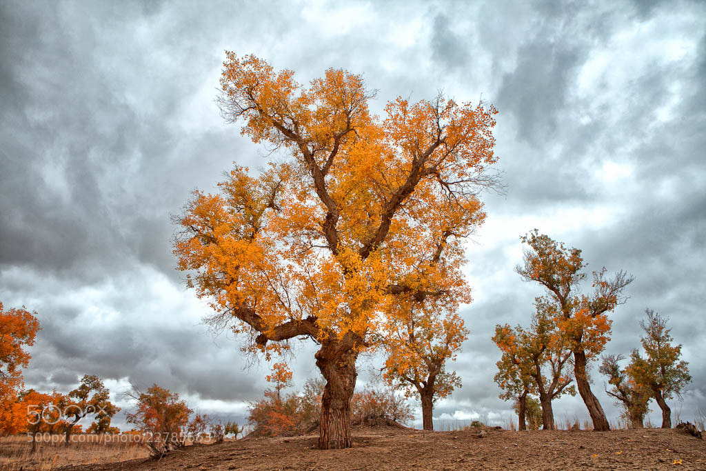 Photograph Populus euphratica in Xinjiang by Vicco Lee on 500px