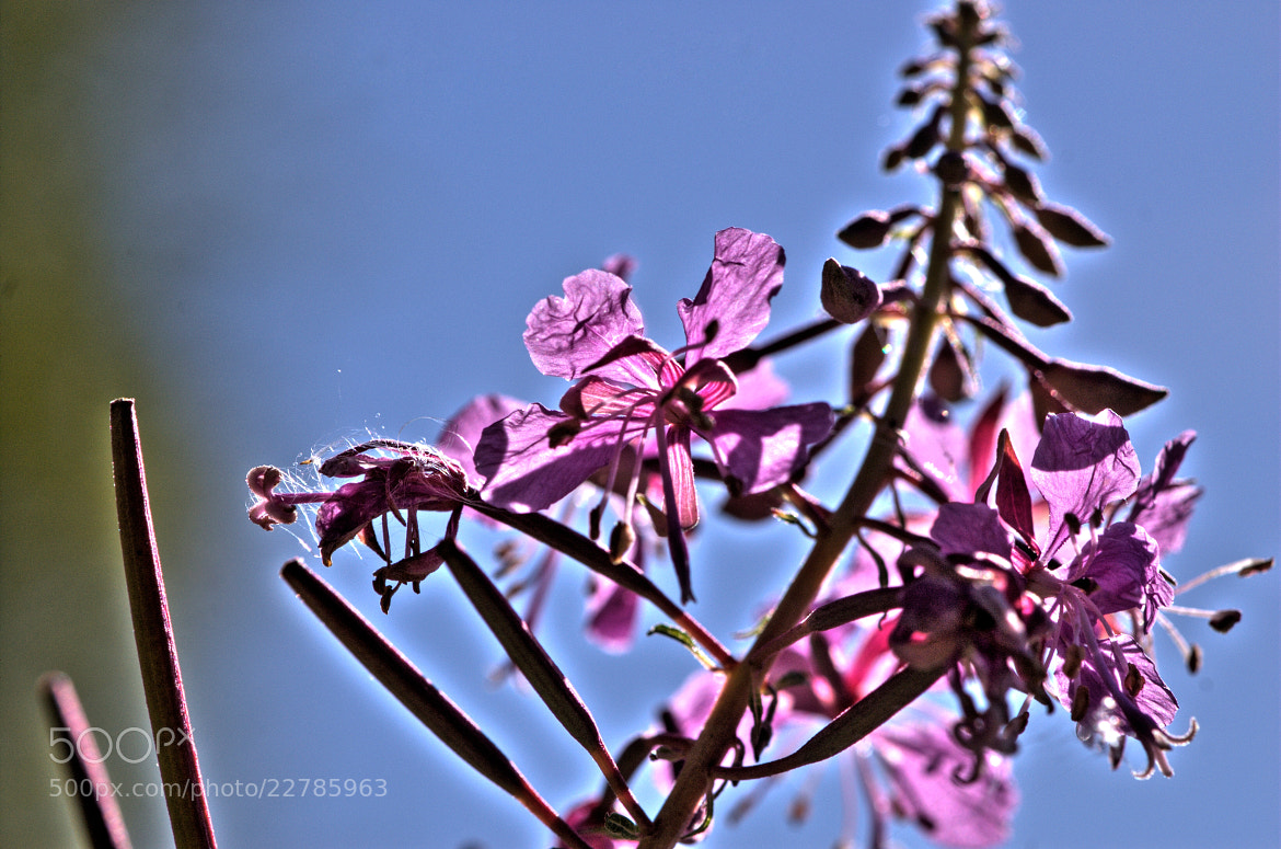 Photograph Rosebay Willowherb (Weidenröschen ) by Petra Wiedenbrück on 500px