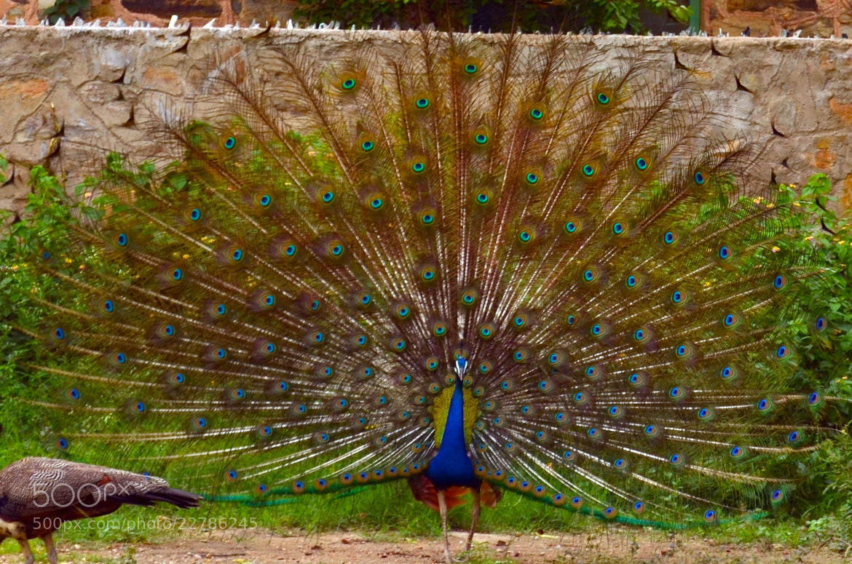 Photograph Peacock by Ada Lath Gupta on 500px
