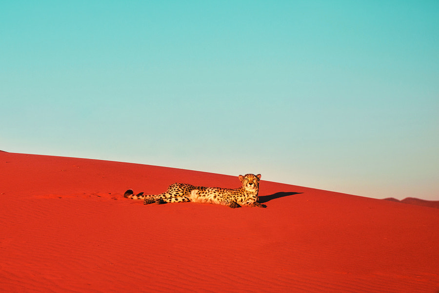Desert cheetah by Pietro Olivetta on 500px.com