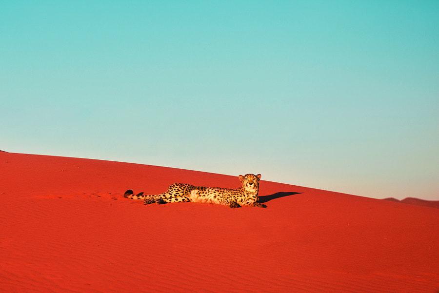 Desert cheetah by Pietro Olivetta