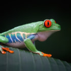 The red-eyed tree frog live in Monte Verde Costa Rica.