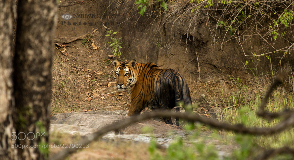 Photograph Tiger by Sathya S R on 500px