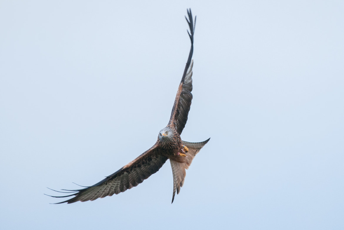 Photograph Red Kite! by Robert Proudfoot on 500px