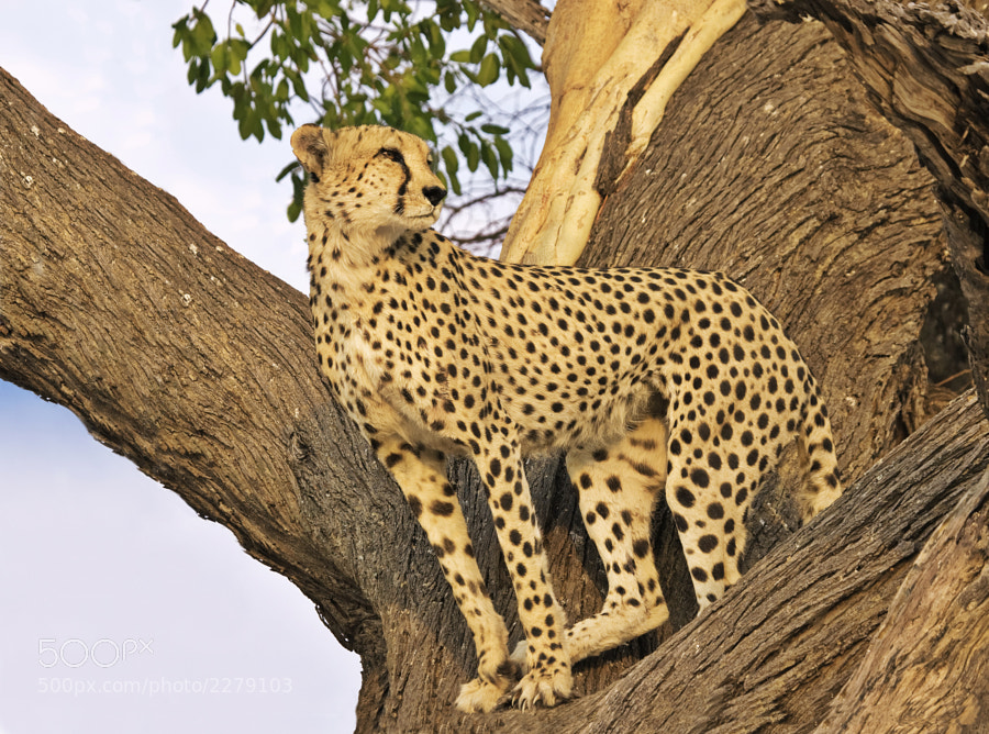 "One of the ""blood Brothers"" looks out from their favourite tree in Kwando concession Botswana, 8th October 2004. I really find it hard to believe this was nearly 7 years ago."
