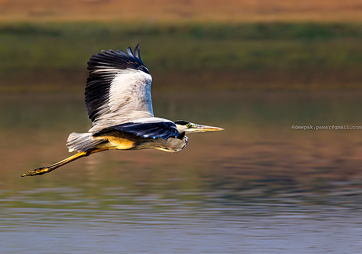 Photograph Great blue Heron's show-off flight  by Deepak Pawar on 500px