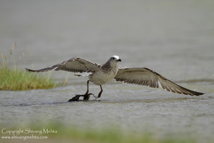 Photograph Pallas's Gull  by Shivang Mehta on 500px