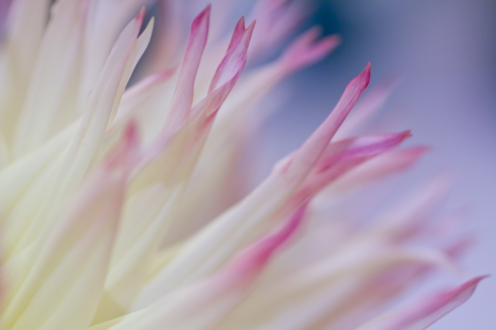 Photograph Dahlia by Rebecca S on 500px