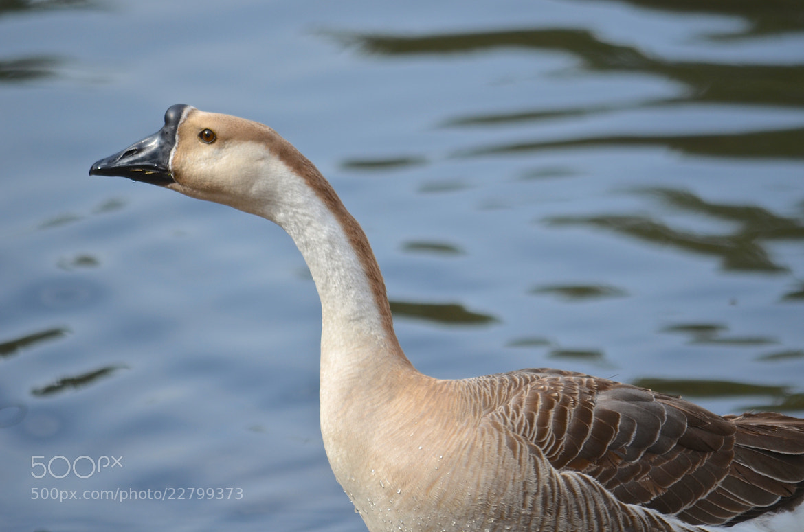Photograph Chinese Goose by Steven Bach on 500px