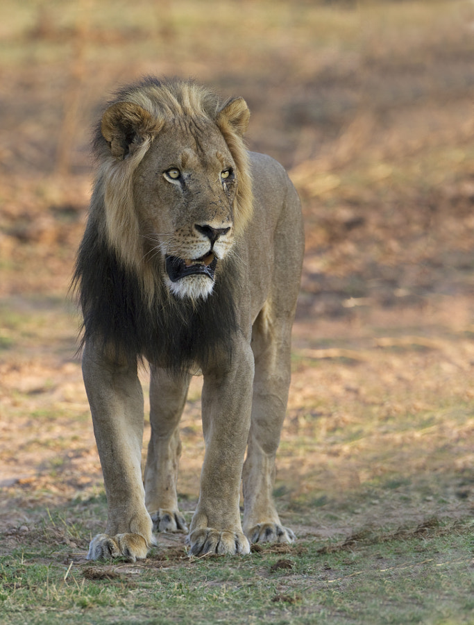 This fine male was on the shoreline of Rhino Island (where we stay) in Matusadona NP, Zimbabwe, 25th September 2011