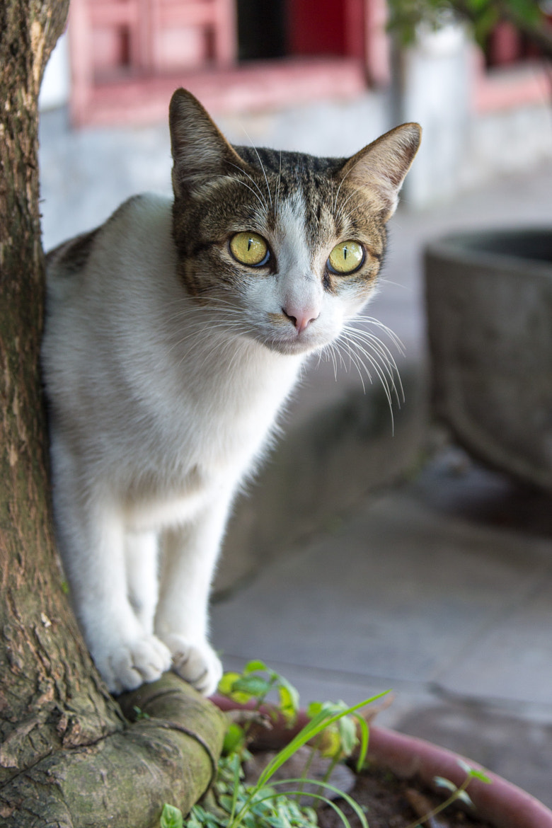 Photograph Hanoi Cat by Aaron Von Hagen on 500px
