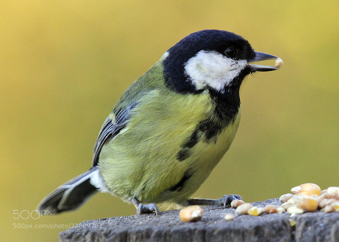 Photograph Great Tit by Mark Andrews on 500px