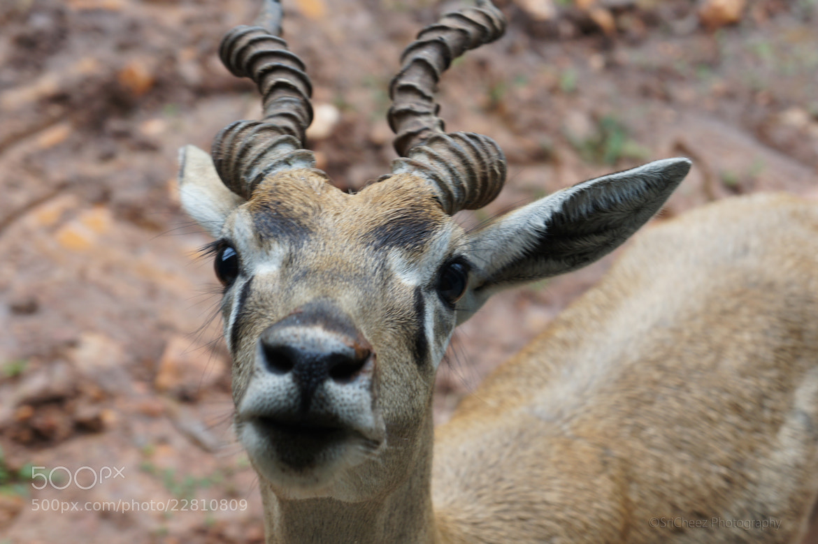 Photograph The twisted horn deer by Srinivasan Arumugam on 500px