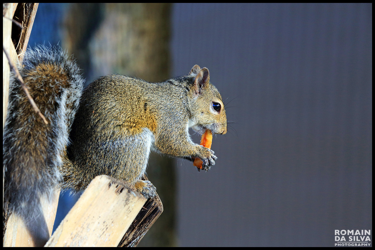 Photograph American squirrel finishing burger and fries by Romain Da Silva on 500px