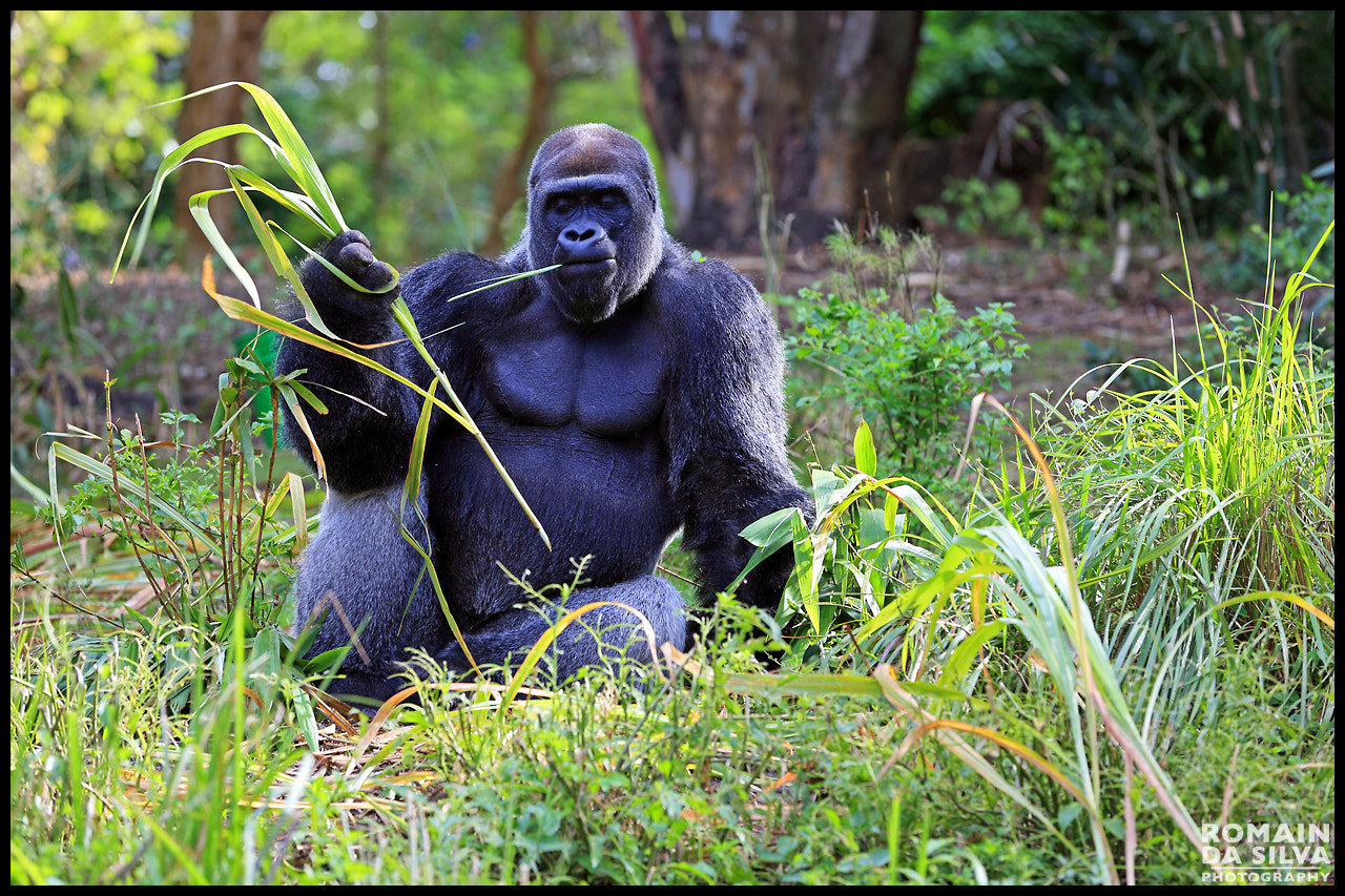 Photograph Smoking gorilla by Romain Da Silva on 500px