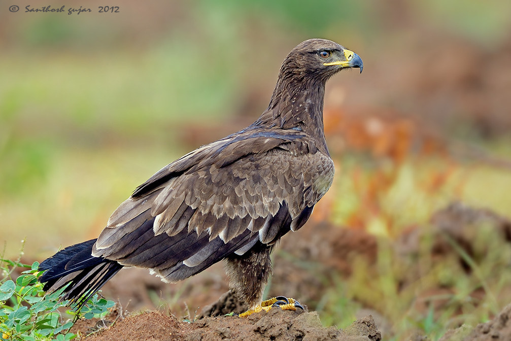 Photograph Tawny Eagle -- Profile by Santhosh Gujar on 500px