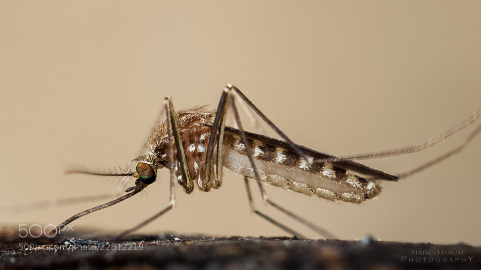 Photograph mosquito by Marco Baum on 500px
